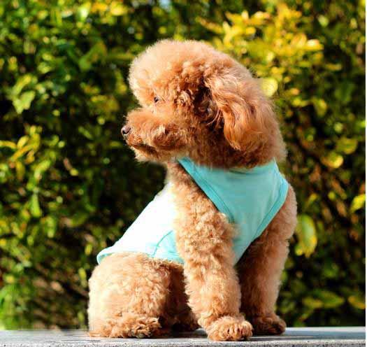 เสื้อผ้าสุนัขไซส์เล็ก น้องหมาน้องแมวขนาดXS เสื้อยืดคอกลมลายจิงโจ้ออสเตรเลียสีฟ้า นำเข้า - พร้อมส่งDG3 ราคา89บาท